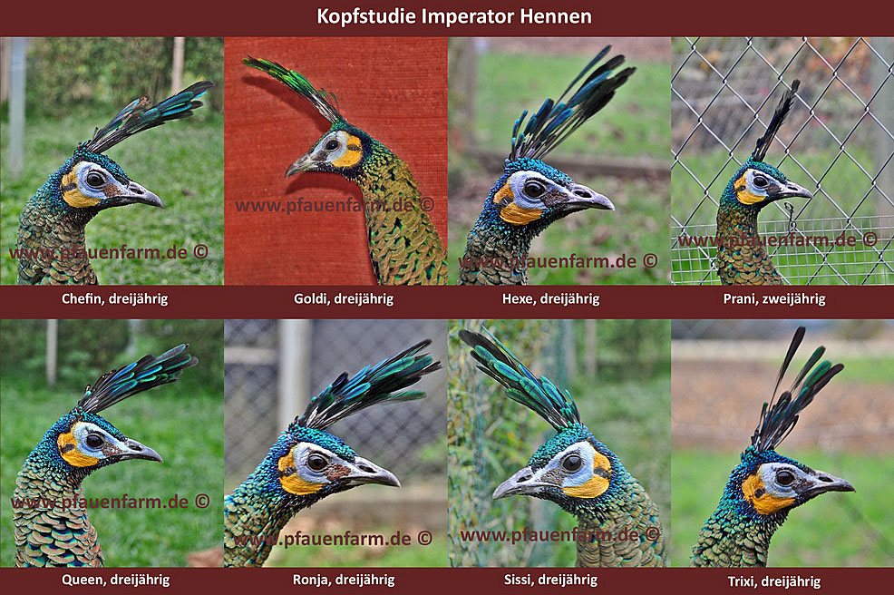 homepage_head_study_imperator_hens_d